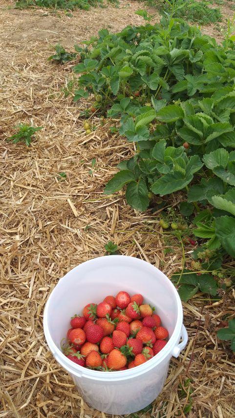 Nabiranje jagod in priprava slastne sadne malice